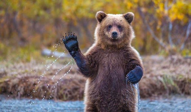 Quand l'ours imite l'humain
